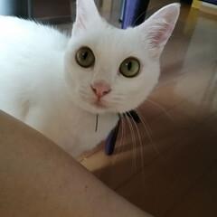 甘えん坊猫/白ねこ部/LIMIAペット同好会/にゃんこ同好会 今日の朝。「ねぇネェ撫でてよ〜」
