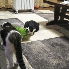 暮らし 久しぶりに猫草を買ってきたら マリともみ…
