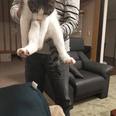 主人大好き/猫のいる暮らし/猫屋敷 主人大好きもみじは 主人が帰ってくると離…(1枚目)