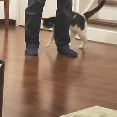 主人大好き/猫のいる暮らし/猫屋敷 主人大好きもみじは 主人が帰ってくると離…(4枚目)