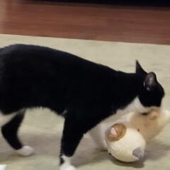 お友だち/マリ/ぬいぐるみ/猫のいる暮らし UFOキャッチャーでたまたまGET下猫の…(1枚目)