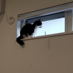 癒やし/猫のいる暮らし/猫と暮らす 最近13歳サクラ婆ちゃんは やたらとくっ…(6枚目)