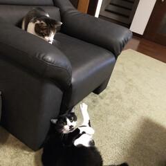 癒し/猫のいる暮らし 最近のニャンズ達😺(2枚目)