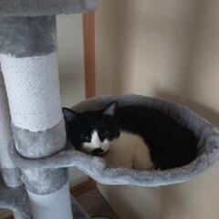 癒やし/猫のいる暮らし/猫と暮らす 最近13歳サクラ婆ちゃんは やたらとくっ…(4枚目)