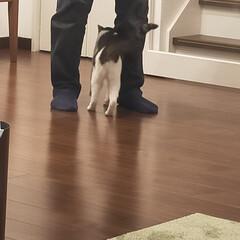 主人大好き/猫のいる暮らし/猫屋敷 主人大好きもみじは 主人が帰ってくると離…(5枚目)