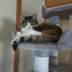 癒やし/猫のいる暮らし/猫と暮らす 最近13歳サクラ婆ちゃんは やたらとくっ…(1枚目)