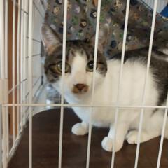 癒やし/猫のいる暮らし/猫と暮らす 最近13歳サクラ婆ちゃんは やたらとくっ…(7枚目)