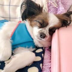 枕/枕大好き/翔海/パピヨン/おやすみショット 枕がだいすきなボク。今日はソファーの肘を…