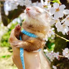 フェレット/フェレット部/さくら/春/桜/思い出/... ☆ 春風を感じてるのかな?🌸 ポカポカお…