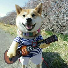 ギター犬/ニコニコつむちゃん/柴犬/桜/春のフォト投稿キャンペーン/春/... 🐕♥🌸 ニコニコつむちゃん