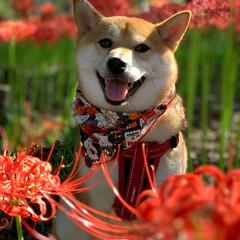 朱色/おでかけ/フォロー大歓迎 真っ赤な曼珠沙華 今年も綺麗でした(1枚目)