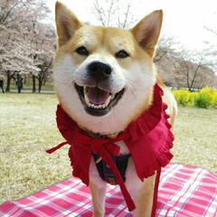 ニコニコつむちゃん/赤ずきんちゃん/桜/柴犬/春のフォト投稿キャンペーン/春/... 🐕♥ 赤ずきんつむちゃん ニコニコ😀