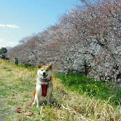 LIMIAペット同好会/ペット/犬/わんこ同好会/春の一枚/菜の花/... つむぎと桜