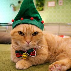 にゃんこ/にゃんこ同好会/猫カフェ/マンチカン/ねこカフェなるちゃちゃ丸/ねこカフェなる/... とんがりツリー帽子🎄✨  キリッ✨