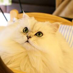 チンチラシルバー/ファビュラス/にゃんこ同好会/ペルシャ猫/猫カフェ/ねこカフェなるララァ/... キラキラお目目✨