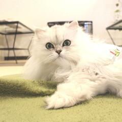 ペルシャ猫/ねこカフェ/ねこカフェなる/猫カフェ/令和カウントダウン/フォロー大歓迎/... あたたかくなってきましたね🐈  ふわふわ…