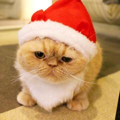 サンタちまき/ねこカフェなるちまき/エキゾチックショートヘア/にゃんこ同好会/猫カフェ/ねこカフェなる/... サンタちまき🎅  おじいちゃんのような …