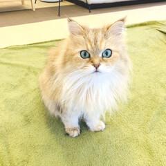 お誕生日/猫/ねこカフェ/ペルシャ猫/ねこカフェなる/猫カフェ/... ぱっちりお目々が魅力的...❤︎ 見つめ…