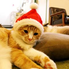ねこカフェなる新八/マンチカン/猫カフェ/にゃんこ同好会/ねこカフェなる/クリスマス2019/... 🎅はじめてのかぶりもの✨