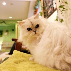 ララァ様/にゃんこ/猫/猫カフェ/ペルシャ猫/ねこカフェなるララァ/... 見返り美人☺️💕💕