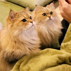 猫カフェ/ねこおやつ/ペルシャファミリー/ペルシャ猫/ねこカフェなるあずき/ねこカフェなるきなこ/... 親子でおやつまち✨