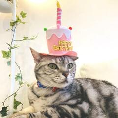 アメリカンショートヘア/猫/お誕生日/うちの子自慢/猫カフェ/ねこカフェなる/... 5/26で11歳になったハンサムさん。 …