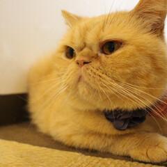 エキゾチックショートヘア/猫/猫カフェ/ねこカフェなる/フォロー大歓迎/LIMIAペット同好会/... ちまきちゃん 魅惑のななめ45度♡