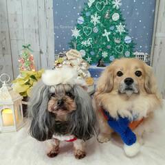 犬のクリスマス/犬との生活/犬との暮らし/ヨープー/ペキックス/セリア/... 🎄メリークリスマス🎄  のんにはセーター…