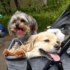 ヨープー/ペキックス/犬好きな人と繋がりたい/犬/春のフォト投稿キャンペーン/令和の一枚/... 休憩の時もご機嫌な二人😌🎶 山車は綺麗で…