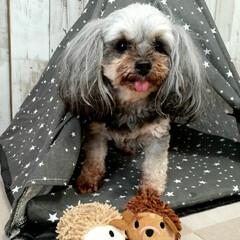 ランチ/ヨープー/ペットのおもちゃ/ペット用テント/暮らし/100均/... ダイソーのペット用テント とハリネズミの…(1枚目)