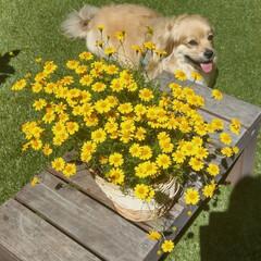 花好きな人と繋がりたい/犬/ヨープー/ペキックス/花が好き/花のある生活/... . 💛ダールベルグデージー . 花がら摘…