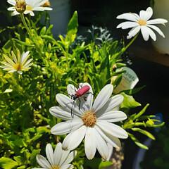 オステオスペルマム/花のある生活/花のある暮らし/ベニカミキリムシ/暮らし 今朝の初めましてのお客様😊 ベニカミキリ…