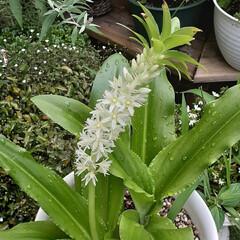 パイナップルリリー/花のある生活/花のある暮らし/ガーデニング/花 パイナップルリリー  今年は白も仲間入り…