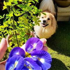 バタフライピーの花/犬のいる暮らし/ペキックス/ミックス犬/ガーデニング/犬/... バタフライピーが沢山咲いた~💕 って喜ん…