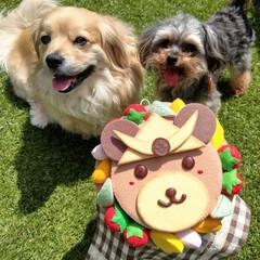 フェルトケーキ/ヨープー/ペキックス/犬好きな人と繋がりたい/犬/春のフォト投稿キャンペーン/... . 令和元年子どもの日🎏 . インスタの…