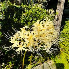 花が好き/曼珠沙華/彼岸花/花/空 彼岸花 曼珠沙華   🐶🐶には毒性の強い…