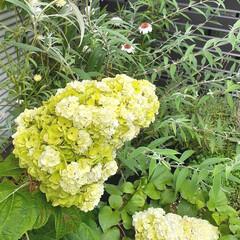 花のある生活/花のある暮らし/カシワバアジサイ/暮らし/紫陽花/八重咲き紫陽花 カシワバアジサイ  ハーモニー 白からグ…