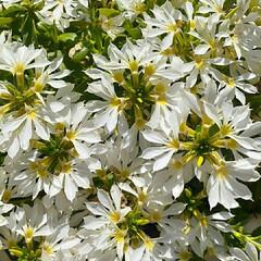 薔薇/スイートドリーム/リキマキアミッドナイトサン/サントリーフラワーズ/サンクエール/庭の花/... サンクエール💕 小さなお花が集まってとっ…