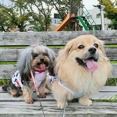 お散歩/犬との生活/ミックス犬/ヨープー/ペキックス/犬との暮らし/... 昨日の公園お散歩🐾  ①たくさん歩いたか…