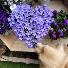 ハート/花のある暮らし/花/ベルフラワー/フォロー大歓迎/春の一枚/... ベルフラワーがハート💜に