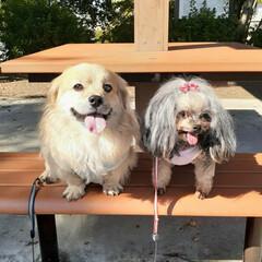 お散歩/犬との生活/犬との暮らし/ミックス犬/ヨープー/ペキックス 久しぶりに公園散歩🐾 昨日はお天気もよく…