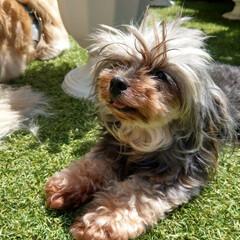 ストロベリースライス/花のある暮らし/ヨープー/ペキックス/犬との暮らし/暮らし/... 昨日のお庭で💕 ❤気持ちいいね~😊💕 💙…(1枚目)