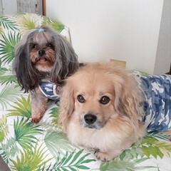 犬との暮らし/ミックス犬/ヨープー/ペキックス/犬/犬のいる暮らし 仲良し💕 雷⚡が怖いれんが心配で 2階か…