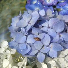 カタツムリ/かたつむり/水盤/花好きな人と繋がりたい/花/紫陽花/... 花遊び💕 水盤に紫陽花浮かべてたら 🐌の…