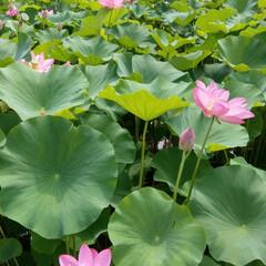 蓮の花/令和の一枚/フォロー大歓迎/LIMIAファンクラブ/至福のひととき 蓮の花💗 早朝に綺麗に咲くので見に行った…(3枚目)