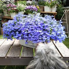 犬/ヨープー/犬と花/花が好き/花/花のある暮らし/... ①ロベリアがフワフワ~💜 クンクンいい香…