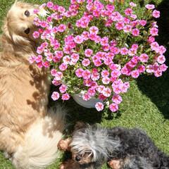 ストロベリースライス/花のある暮らし/ヨープー/ペキックス/犬との暮らし/暮らし/... 昨日のお庭で💕 ❤気持ちいいね~😊💕 💙…(3枚目)