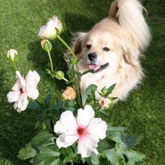 犬と花/花のある暮らし/ラナンキュラス/ラナンキュラスラックス/ミックス犬/ペキックス/... 綺麗だね💕 ラナンキュラスラックス💗 光…