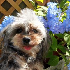 紫陽花/花/ヨープー/犬好きな人と繋がりたい/犬/令和元年フォト投稿キャンペーン/... . おはようございます😃 今日は朝から暑…
