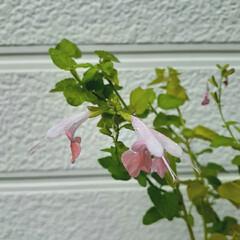 花のある生活/花のある暮らし/花が好き/サルビアサクラプルコ/サルビア/ガーデニング/... サルビア・サクラプルコ💕  ①去年の冬に…